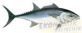 Akya Ekonomik balıkçılık