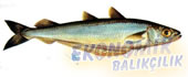 Bakalyaro Ekonomik balıkçılık