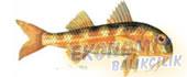 Barbunya Balığı Ekonomik balıkçılık