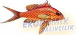 Berber Balığı Ekonomik balıkçılık