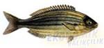 Çitari Balığı