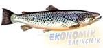 Deniz Alası Ekonomik balıkçılık