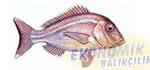 Fangri Mercan Ekonomik balıkçılık