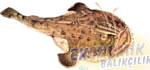 Fener Balığı Ekonomik balıkçılık