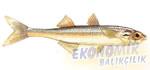 Gümüş Balığı Ekonomik balıkçılık