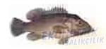 İskorpit Hanisi Ekonomik balıkçılık