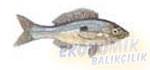 İstrongilos Ekonomik balıkçılık