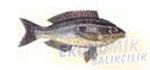 İzmarit Balığı Ekonomik balıkçılık