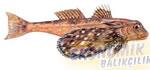 Kanatlı Kırlangıç Ekonomik balıkçılık