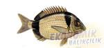 Karagöz Ekonomik balıkçılık