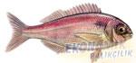 Kırma Mercan Ekonomik balıkçılık