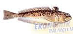 Kum Trakonyası Ekonomik balıkçılık