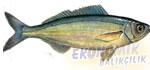 Kupez Balığı Ekonomik balıkçılık