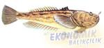 Kurbağa Balığı Ekonomik balıkçılık