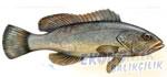 Lahoz Balığı Ekonomik balıkçılık