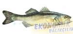 Levrek Ekonomik balıkçılık