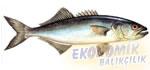 Lüfer Ekonomik balıkçılık