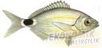 Melanurya  Ekonomik balıkçılık