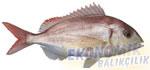 Mercan Ekonomik balıkçılık