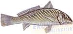 Minekop Ekonomik balıkçılık