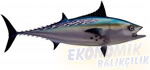 Orkinos Balığı Ekonomik balıkçılık