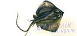 Rina Balığı Ekonomik balıkçılık