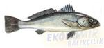 Sarıağız Balığı Ekonomik balıkçılık