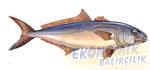 Sarıkuyruk Balığı Ekonomik balıkçılık