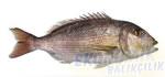 Sinarit Ekonomik balıkçılık