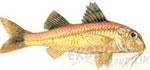 Tekir Ekonomik balıkçılık