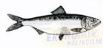 Tirsi Balığı Ekonomik balıkçılık