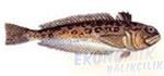 Trakonya Balığı Ekonomik balıkçılık