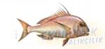 Trança Balığı Ekonomik balıkçılık
