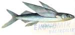 Uçan Balık Ekonomik balıkçılık