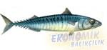 Uskumru Balığı Ekonomik balıkçılık