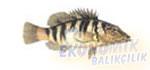 Yazılı Hani Balığı