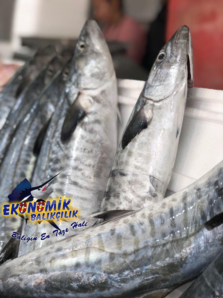 ceylanpalamut-768x1024Nevşehir'de ki Balık fiyatları