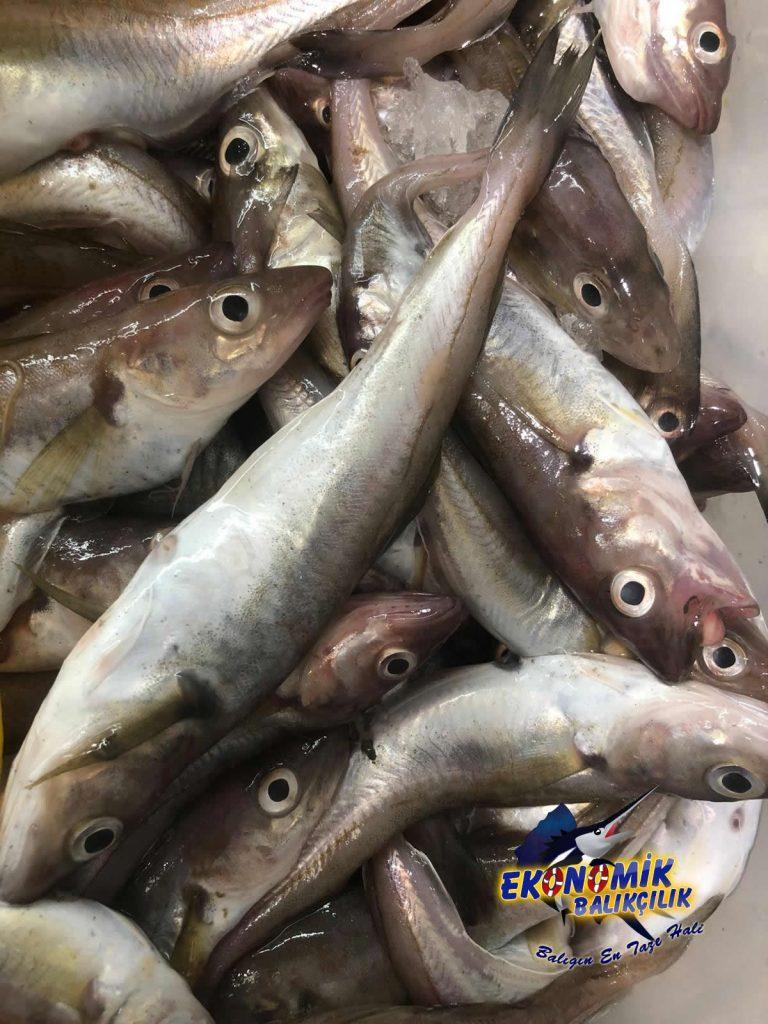 karadeniz-mezgit-768x1024Nevşehir'de ki Balık fiyatları