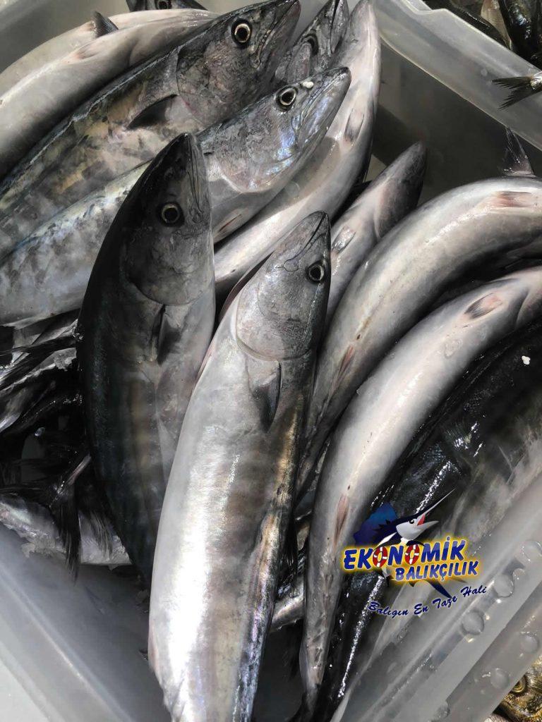 karadeniz-palamut-768x1024Nevşehir'de ki Balık fiyatları